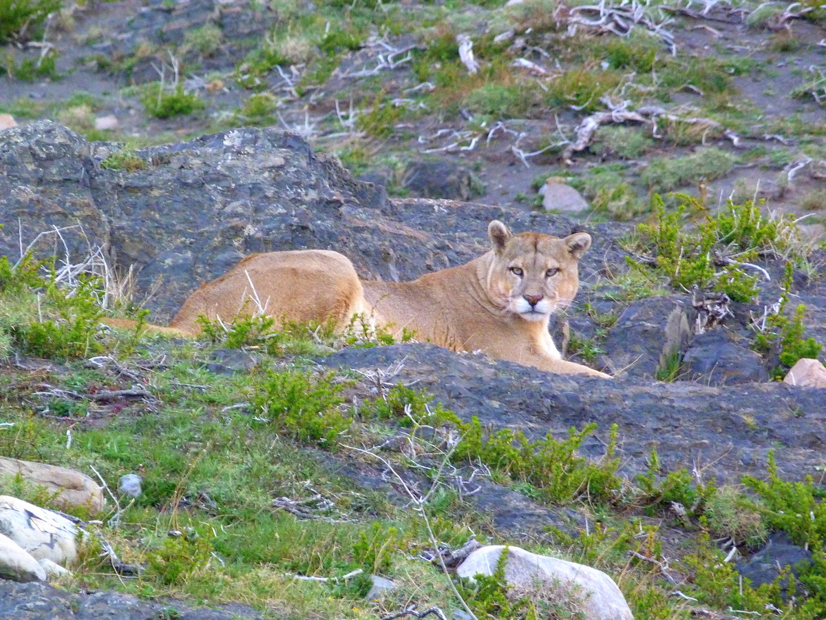 Puma From Torres Del Paine