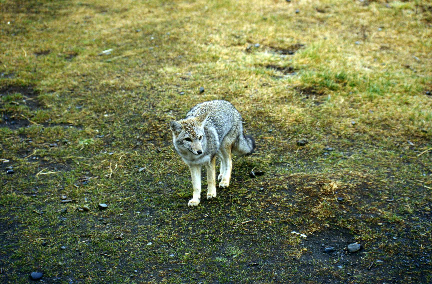 Gray Fox from Patagonia